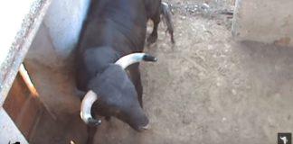 afeitado de los pitones a un toro
