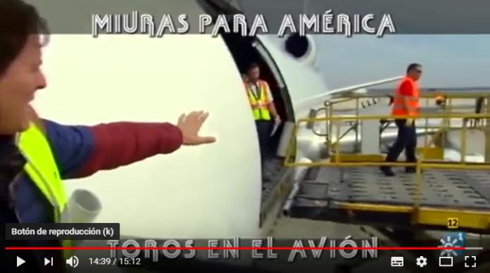 Toros en avión hacia América
