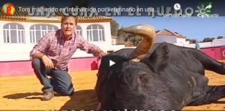 Curando al toro malherido
