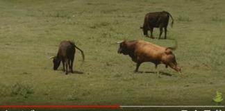 El sexo de los toros