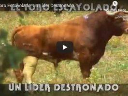 toro escayolado