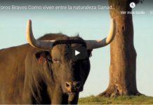 vive el toro bravo en el campo